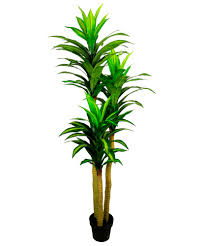 dracaena tree dracaena tree suppliers and manufacturers at