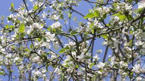 apple tree bloom wallpapers apple tree branches 2 wallpaper flower wallpapers 42002