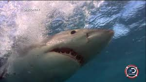 great white shark videos at abc news video archive at abcnews com