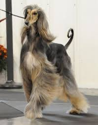 afghan hound breeders europe spice hill genesis ahi afghan hound pedigree database