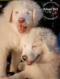 australian shepherd puppies rescue andyandleah 1682 jpg