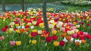 tulip bulbs item 1264 big ups for sale