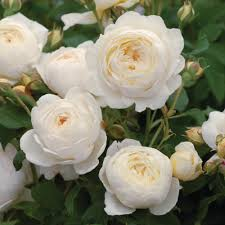 Climbing Plant With Fragrant Flowers Most Fragrant Climbing Roses David Austin Roses