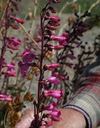 nevada native plants programs national conservation lands nevada sloan canyon