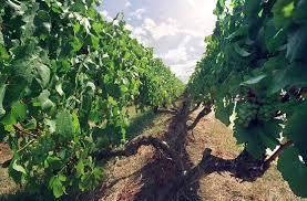 Trellis Wine The Lyre Trellis In The Kbs Vineyard Stonier Wines Picture Of