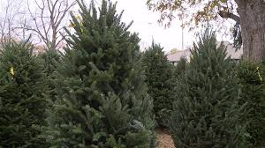 live christmas tree fraser live christmas trees have you tried