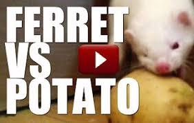 can ferrets eat potatoes u2013 my ferret pet