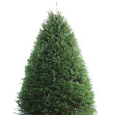 shop 8 9 ft fresh douglas fir tree at lowes