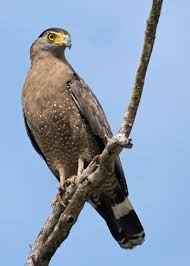 listbirds crested serpent eagle spilornis cheela google search birds of