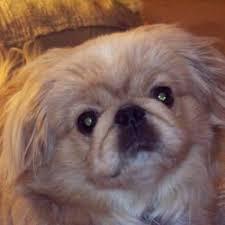 affenpinscher z hter schweiz happy puppy tutoring u0026 tiny dog boarding 11 photos u0026 18 reviews