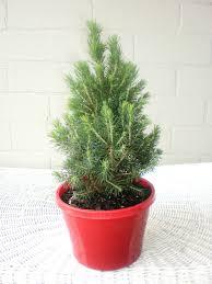 real mini christmas tree rapidimg org