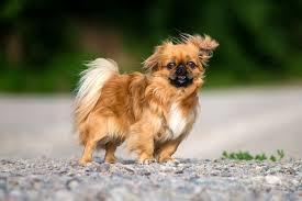 belgian shepherd gumtree pekingese dogs and puppies for sale in the uk pets4homes