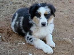 australian shepherd indiana miniature australian shepherd puppies in arizona