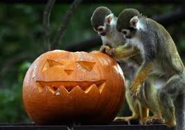 Smashing Pumpkins Halloween - detroit zoo animals receieve their halloween treats china org cn