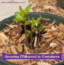 native plants for pots container gardening ideas grow milkweed for monarchs