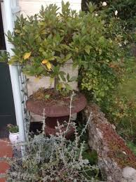 two bay trees in ornamental pots in benson oxfordshire gumtree