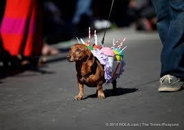 mardi gras dog dogs don adorable costumes in mardi gras parades petcha