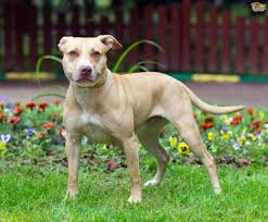 bull terrier target dog breed dog breeds puppies target dog