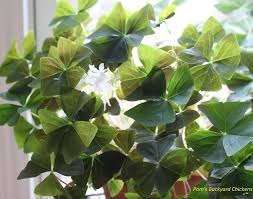 backyard chicken blogs pam u0027s backyard chickens how to care for a shamrock plant