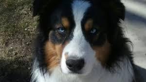 australian shepherd quiz green country family wants stolen dog back news9 com oklahoma