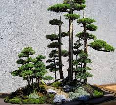 145 best bonsai trees images on bonsai trees bonsai