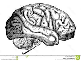 brain pencil drawing brain sketch stock photos images amp pictures