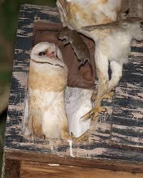 Barn Owl Sounds Barn Owl Silent Hunter Birdnote