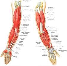 Supraglenoid Tubercle Elbow Anatomy Adrian Mellen Musculoskeletal Portfolio