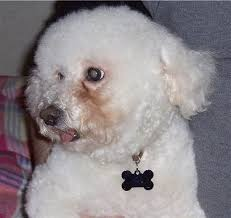 bichon frise jumping bichon frise dog breed pictures 4