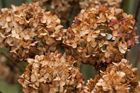 dried hydrangeas bugbane and hydrangea flowers fade and nicely