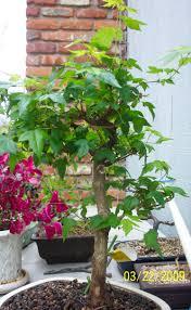 joan u0027s portal bonsai