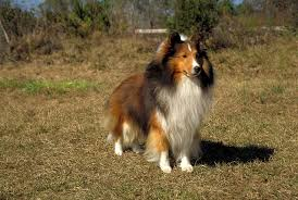 belgian sheepdog chow mix q u0026a with sheltie breeder renee wiseman akc dog lovers american
