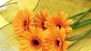 gerber tag wallpapers orange flowers yellow gorgeous close up