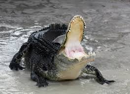 yes they really have found alligators in the new york sewer