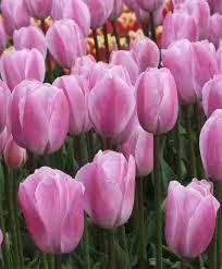 tulip rosalie triumph tulips tulips flower bulb index