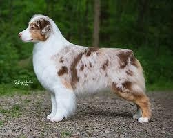 australian shepherd 2015 westminster hightide kennel u2022 striker u0027s offspring