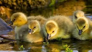 hola como puedo hacer unas alas de pato para nia de 4 la alimentación de los patos