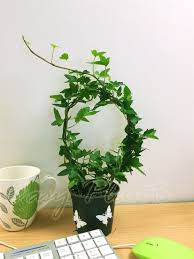 english ivy hedera evergreen hardy wall climbing hanging baskets