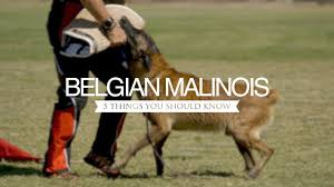 belgian malinois near me belgian malinois five things you should know youtube