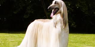 afghan hound creepy top 30 ugliest dogs in the world part 1