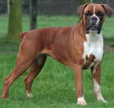 sims 3 boxer dog 39 beautiful boxer dog pictures and images