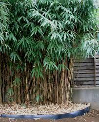 bambou feng shui vente achat bambous phyllostachys aureocaulis aureosulcata
