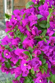 purple queen bougainvillea monrovia purple queen bougainvillea