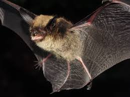 biologists race to save flathead valley bats mtpr
