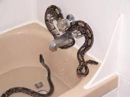 Snake Bathtub 507 Best Reptiles U0026 Amphibians Images On Pinterest Animals