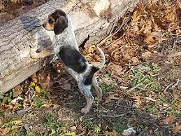 bluetick coonhound youtube redbone bluetick u0026 beagle hound puppies for sale ontario