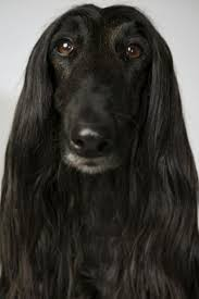 afghan hound tattoo 59 best afghan hound images on pinterest afghan hound afghans
