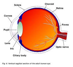 what does the eye see and look for in a typical eye