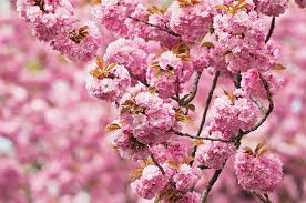 top 6 pink and white blooming trees birds and blooms
