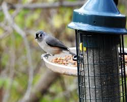 nature news tufted titmouse one to watch in winter